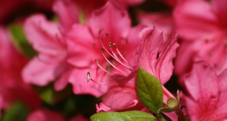 Os arbustos de azaleia devem ser podados apropriadamente para não serem danificados
