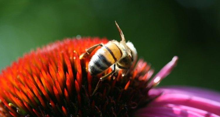 Las abejas obreras recogen polen y néctar de muchas plantas diferentes.
