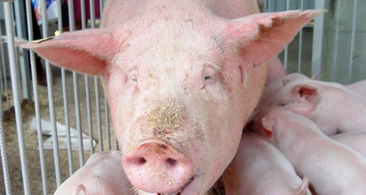 Uma infecção viral pode causar tosse em um porco