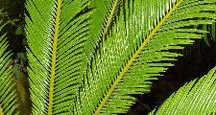 Las palmeras sagú necesitan al menos cuatro horas de luz solar directa.