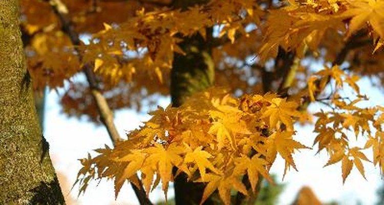 Las semillas del arce son dispersadas por los vientos.