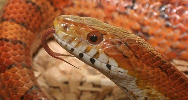 Corn snakes are popular pets for their beauty and ease of keeping.