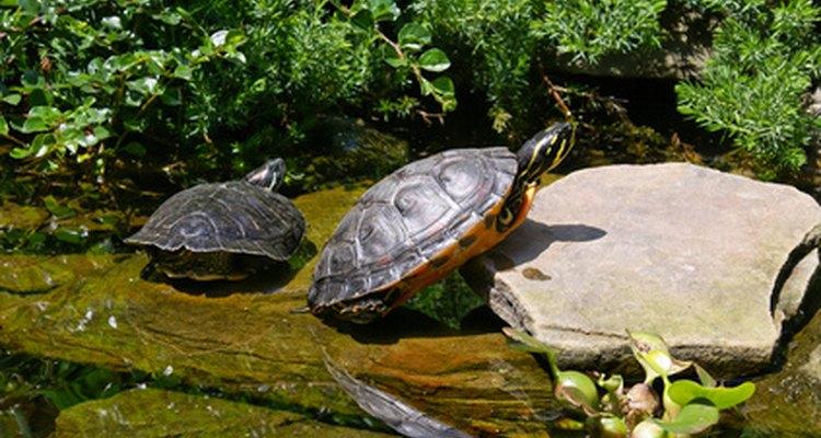 Las tortugas necesitan abandonar el agua para regular su temperatura corporal.