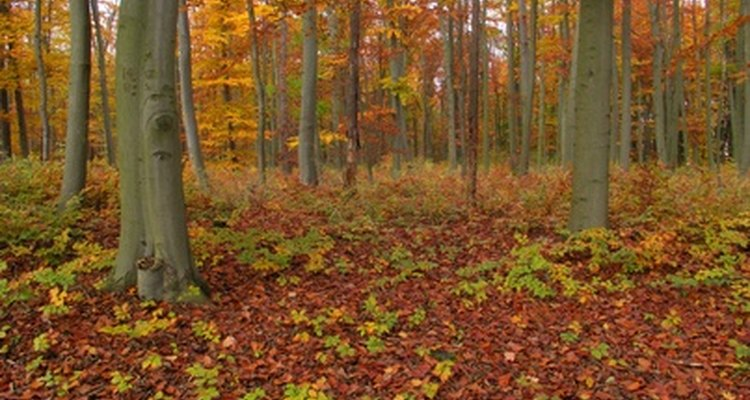 En el otoño, los árboles de hoja caduca dejan de producir clorofila (verde), lo que contribuye al follaje colorido.