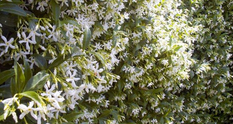 Confederate jasmine forms a dense vine.
