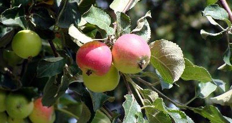 Las manzanas son unas de las frutas más cultivadas en el mundo.