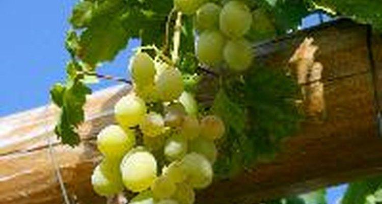 Las plantas de vid deben mantener una distancia adecuada para que puedan dar frutos de la mejor calidad.