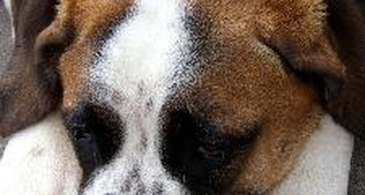 Las infecciones en el tracto urinario pueden hacer que el perro se sienta abatido.