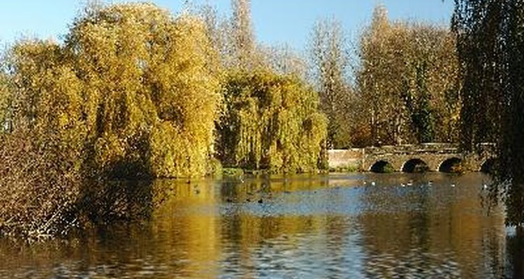 Weeping willows thrive near water.