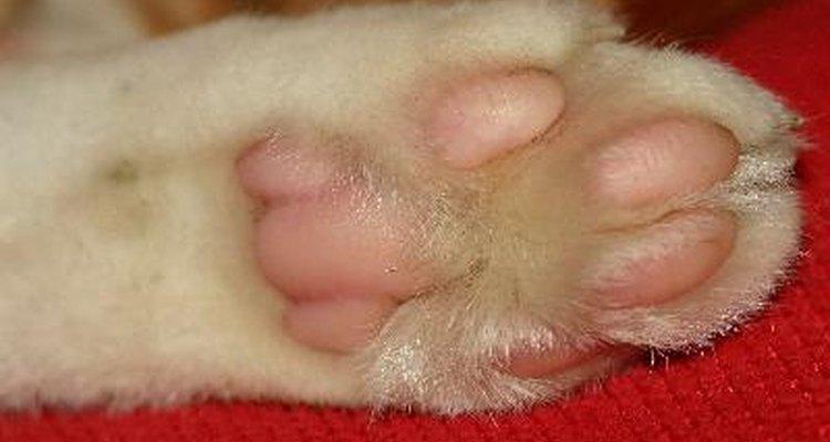 Na maioria dos casos, pode-se tratar a pata inchada de seu animal em casa
