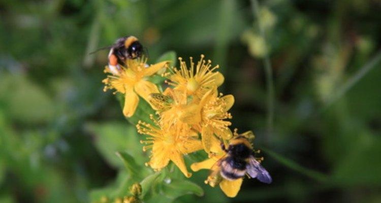 El ácido fórmico protege a las abejas contra el ácaro varroa.