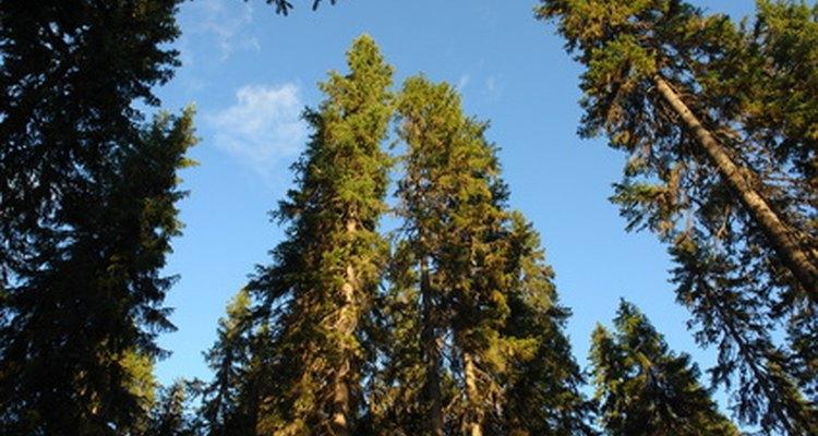 Os pinheiros são usados para criar papel forte e durável