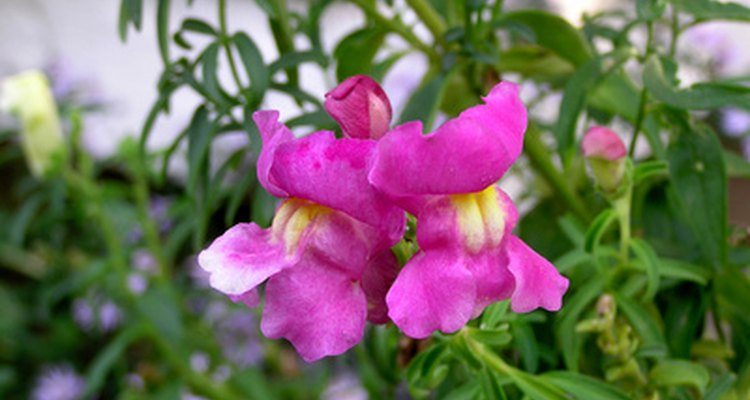 Bright coloured snapdragons are not poisonous flowers.