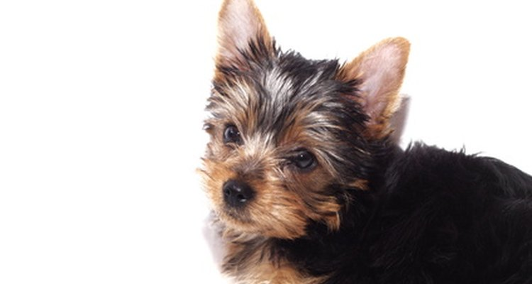 A teacup yorkie should weigh less than 1.81kg.