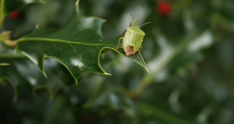 The shield bug in its natural habitat.