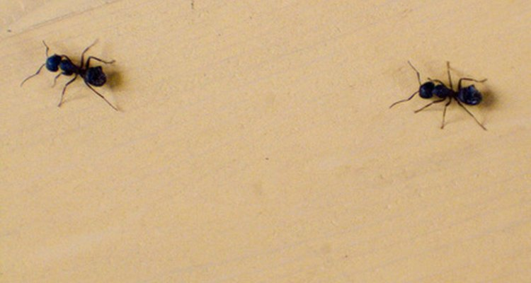 As formigas podem ser confundidas com cupins
