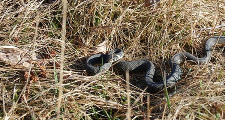 Las Cobras Rey construyen sus nidos y protegen sus huevos.