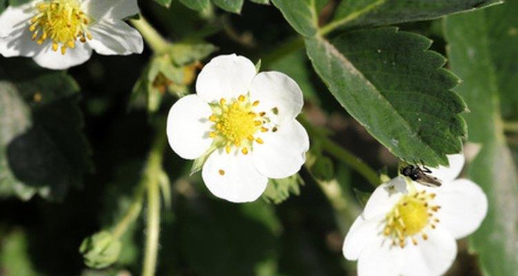 Las flores necesitan ser polinizadas antes de que maduren en la fruta.