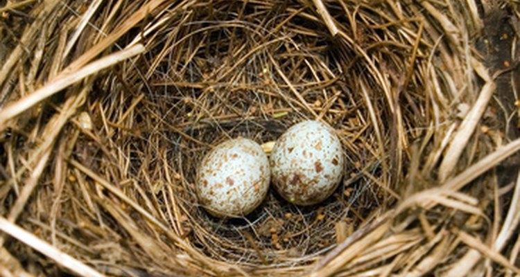 Aves normalmente colocam os ovos em ninhos diferentes