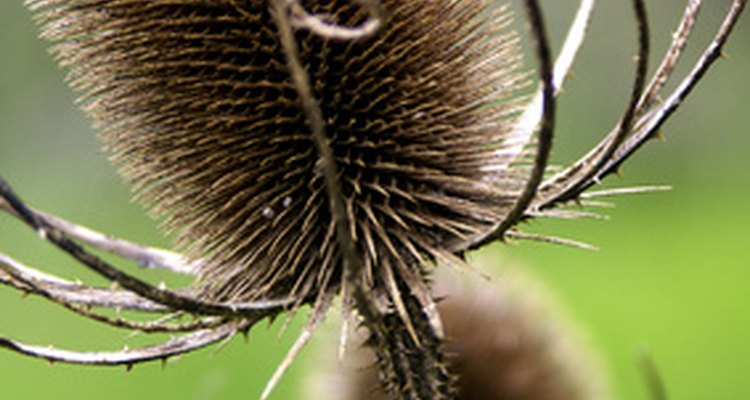 Treat post-emergent weeds like the thistle with Roundup herbicide.