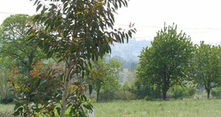 O eucalipto é uma matéria orgânica que pode passar pelo processo de compostagem