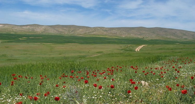 Flowers blooming in the Israeli desert near the city of Arad.