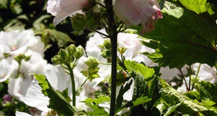 Los arbustos de hortensias se sostienen con tallos leñosos.