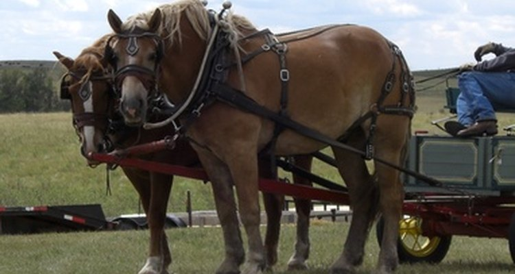 Gypsy vanner horses were developed as smaller, more docile draft horses for pulling wagons.