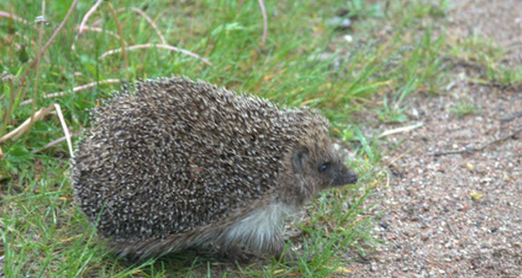 The common hedgehog is an example of an insectivore, a mammal that exclusively eats insects.