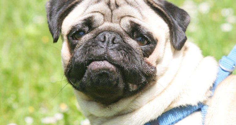 Los Pugs tienden a las dificultades respiratorias, como el hipo, debido a sus narices aplanadas.