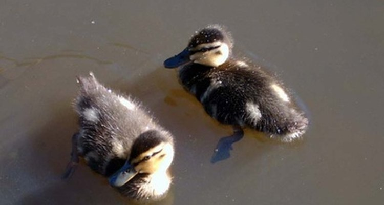 Baby ducklings only need to be fed when their mother is absent.