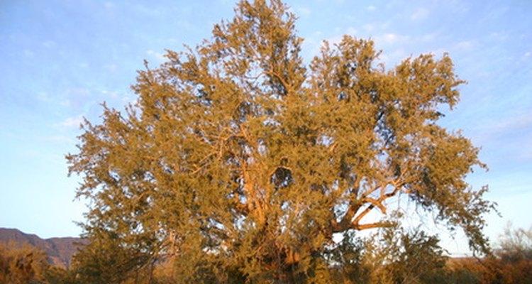 Los mezquites son fuertes árboles tolerantes a la sequía.
