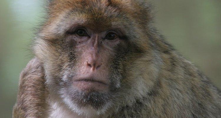 O macaco-de-gibraltar
