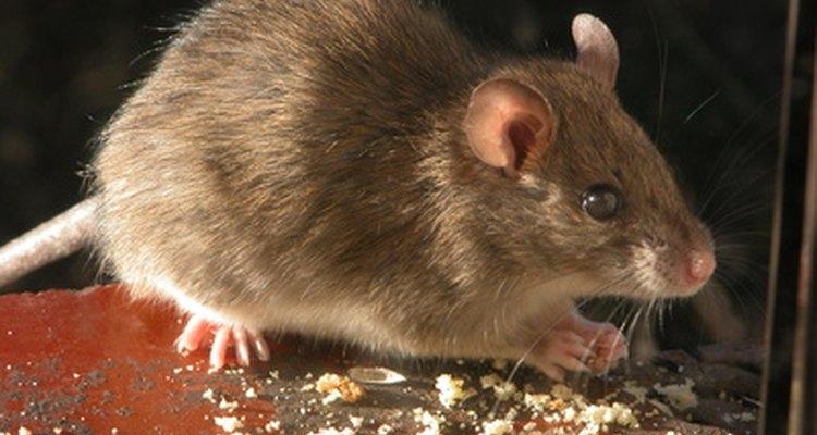 Os ratos são encontrados com frequência em despensas e armários