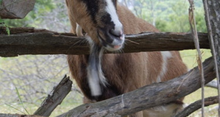 Não há muitos vermífugos eficazes destinados às cabras, por isso a maioria dos pecuaristas usa a ivermectina sem prescrição veterinária