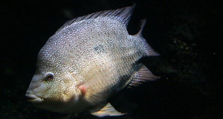 La tilapia vive en ambientes de agua dulce caliente.