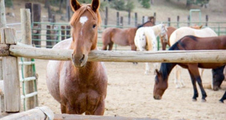 Verrugas equinas são um vírus e podem ser facilmente transmitidas entre cavalos