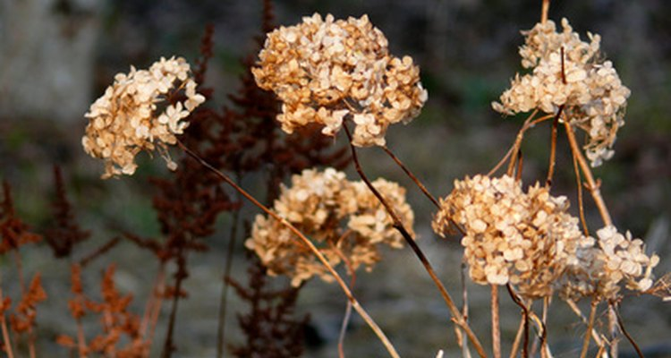 Dead flowrs can be ornamnetal but, for reblooming, you need to remove them to give new flowers a chance to grow.