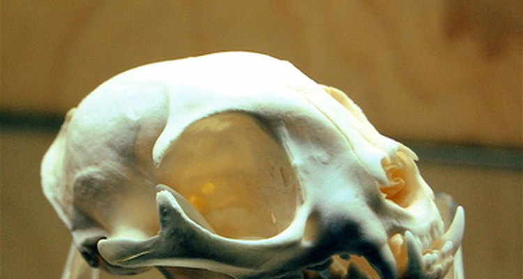 This cat skull bears a striking resemblance to a human skull, yet has many differences.