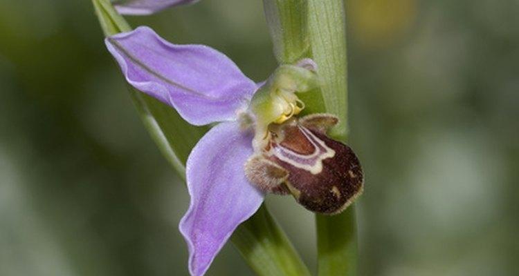Orquídeas-abelhas simulam uma abelha sobre a flor