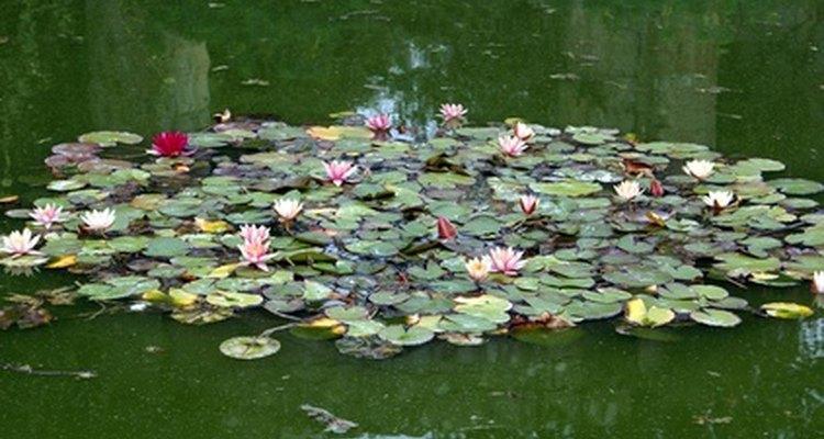 Os lírios crescem naturalmente em diversas cores