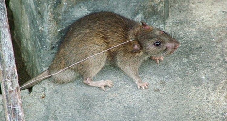 Remova as fezes de ratos à primeira vista para proteger sua a saúde e a de sua família