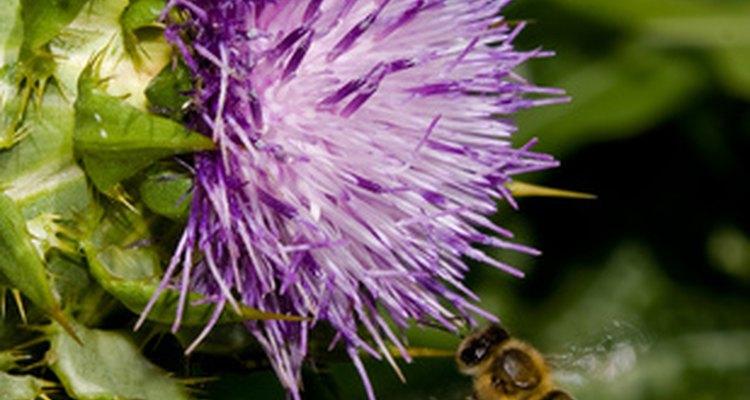 Estude as necessidades das abelhas em uma flor para determinar as características adversas de plantas