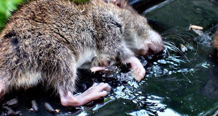 Eliminación de ratas y ratones.