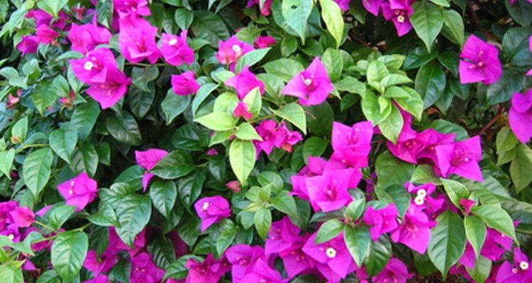 Bougainvilleas are showy, colourful plants for hot climates.