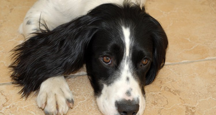 A signs of a phantom pregnancy in springer spaniels is lethargic behaviour.