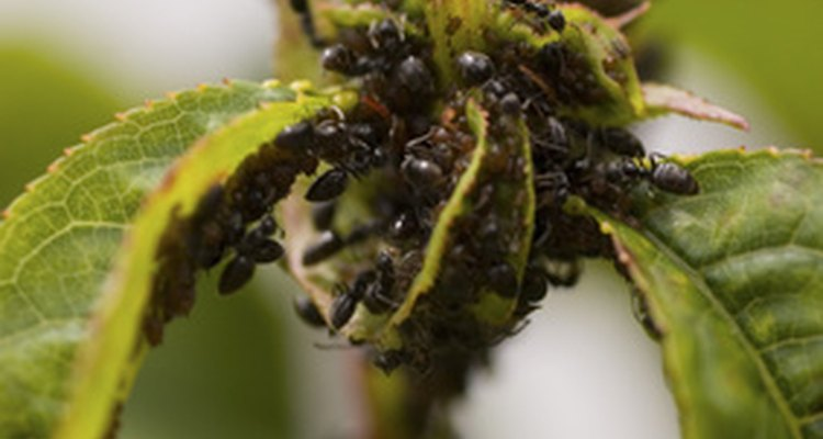 Ants like to eat young plant leaves.