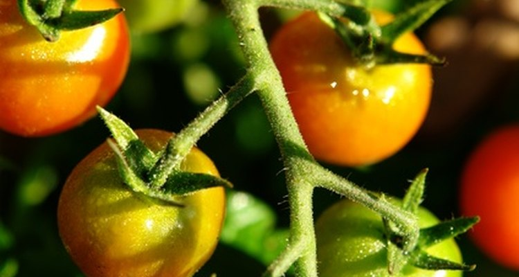 El tomate es popular en la jardinería casera.