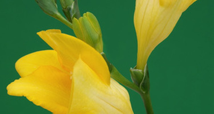 Freesia is a fragrant flower.