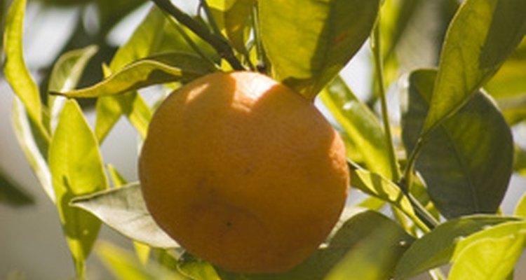 Las naranjas crecen en los árboles.